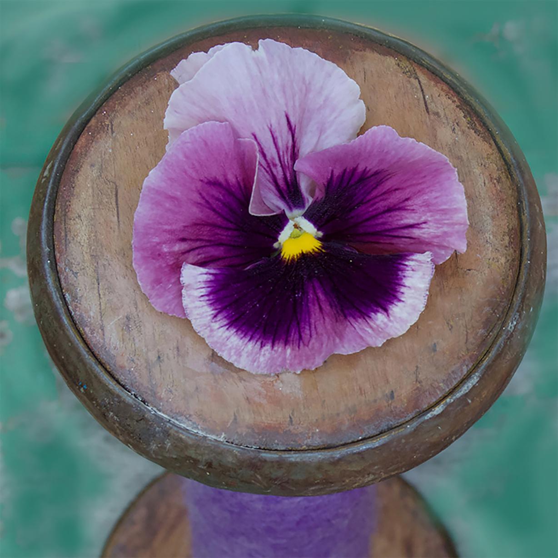 """Den klassiske forårs plante stedmor, i familie med viol, er meget andet end en """"mormorblomst"""". Prada har brugt den i sine kollektioner og den bliver mere og mere populær igen, især i de lilla toner."""