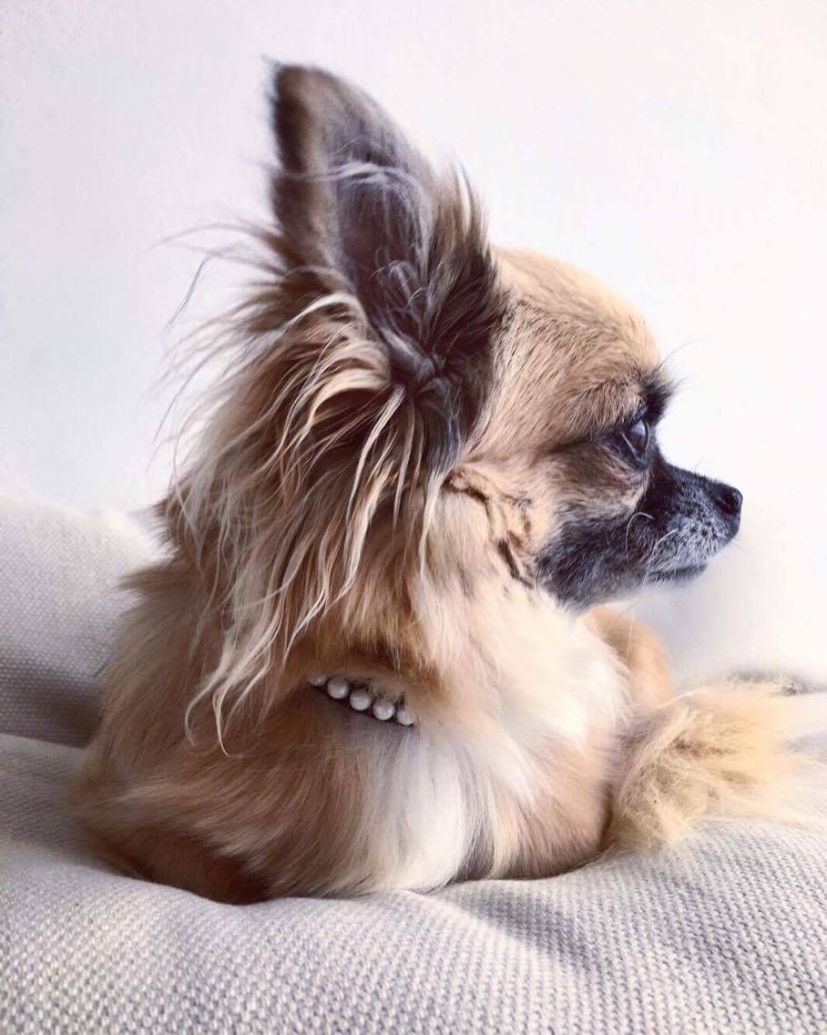En lille chihuahua hund (Foto: Privat)