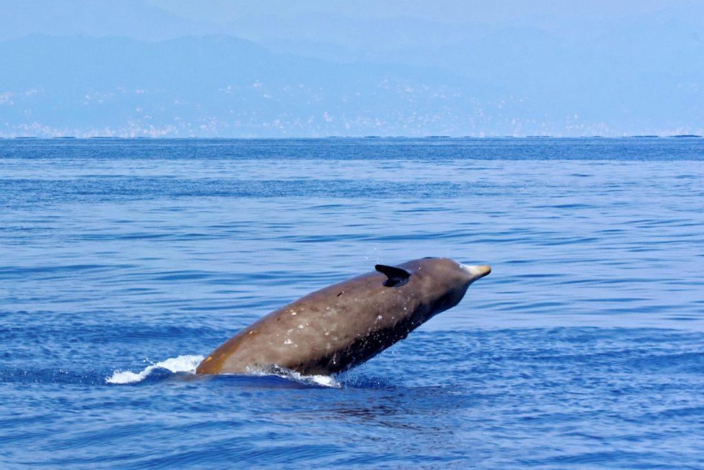 Sjælden hval strander på Vestkysten