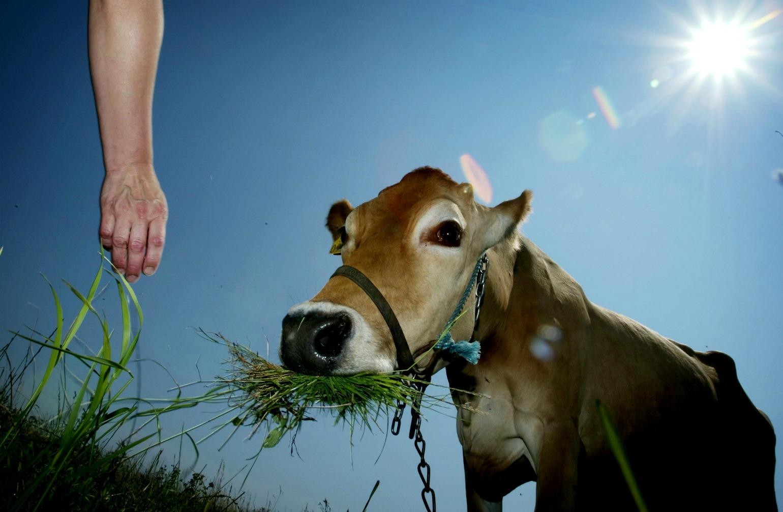 Dansk ko med græs i munden og blå himmel (Foto:polfoto)