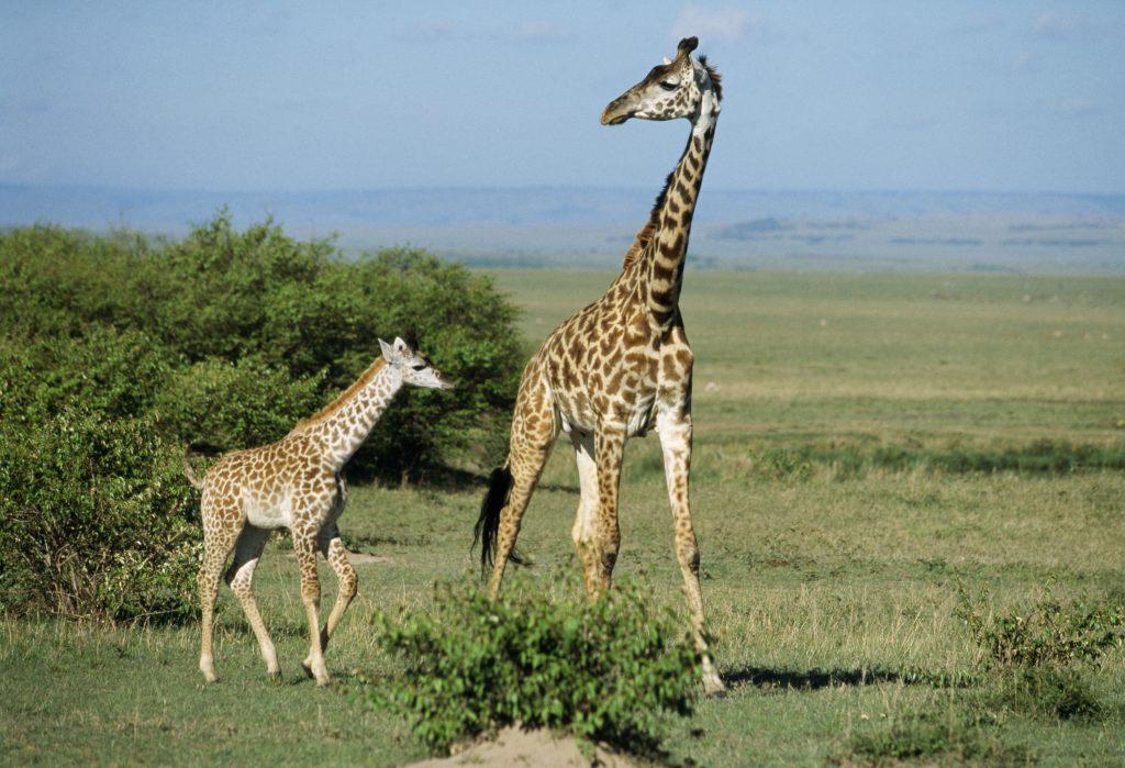 Giraffen er på liste over udrydningstruede dyr. (Foto: All Over)
