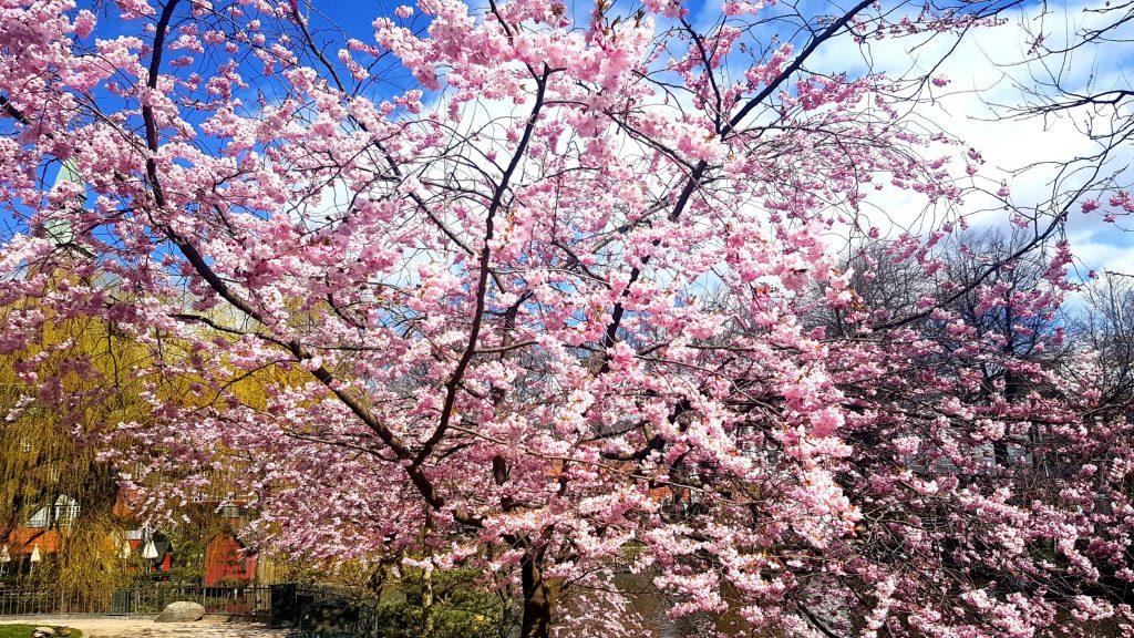 tivoli, sæson, 2017, det kinesiske tårn, dæmonen, forlystelser, blomster, påske, lys, lamper, olafur elliason, gemyse, mad events, koncerter, fredagsrock, påske, tulipaner