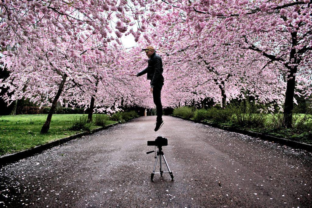 Sakura. Kirsebærtræer. Kirsebærblomster.