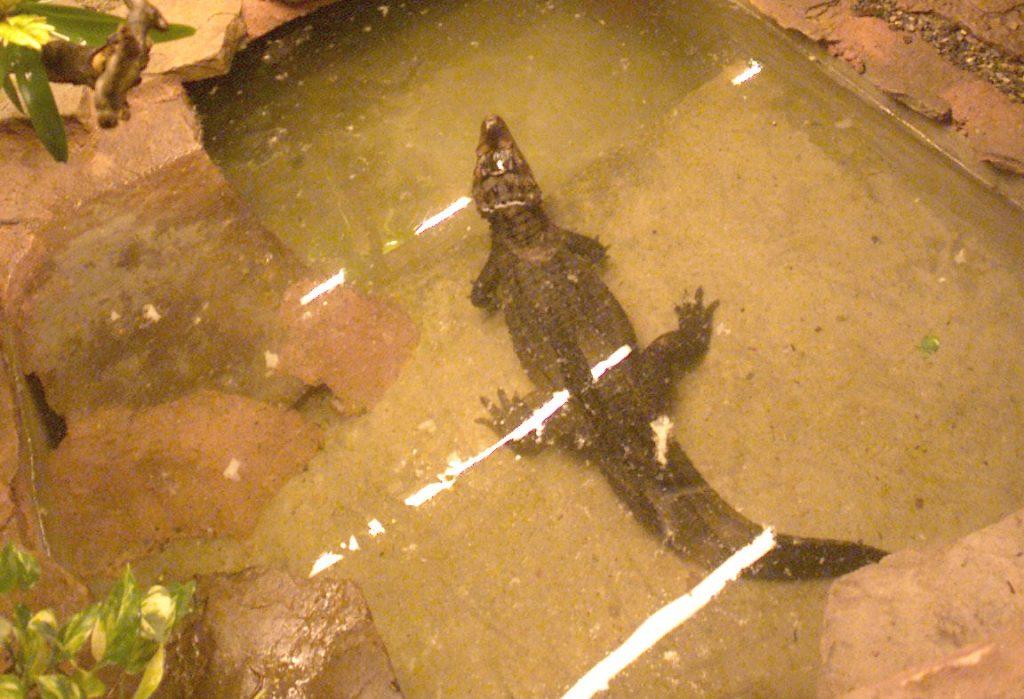 dværgkaiman, alligator, dyr, kæledyr, eftersøgning, gudhjem, gudhjem svømmehal, bornholms politi, krybdyr