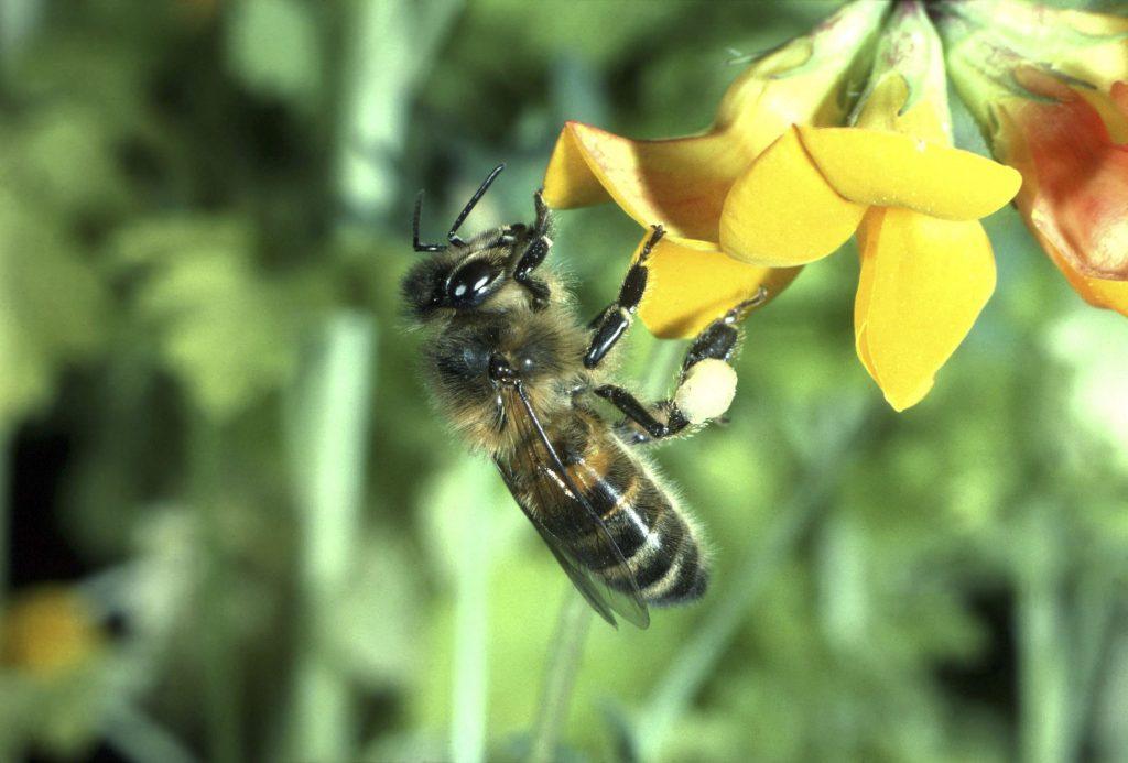 bi, honning, bestøvning, natur, miljø, dyr, bifamilie, bistand, klima, dyr, økosystem