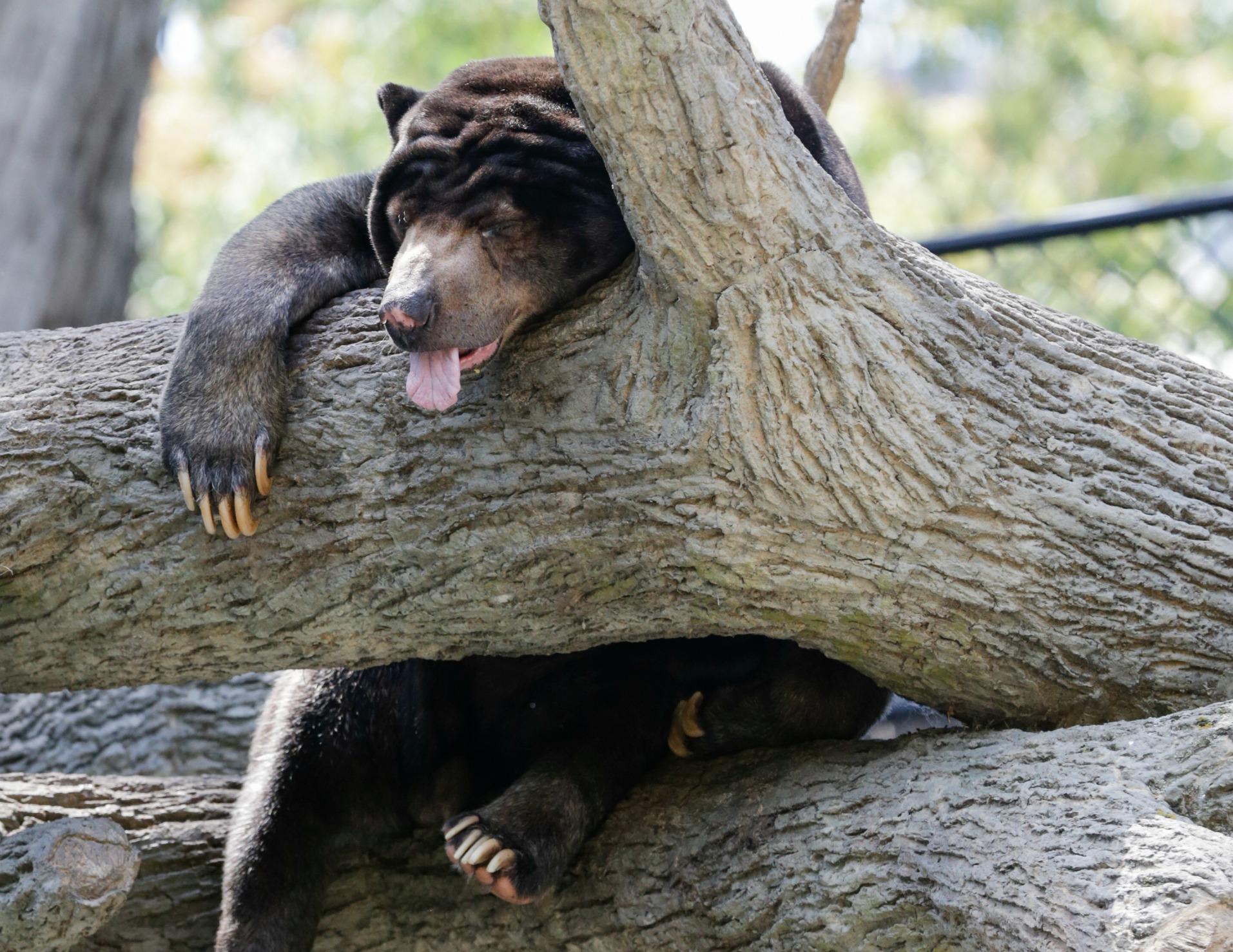 bjørn i Nebraska zoo