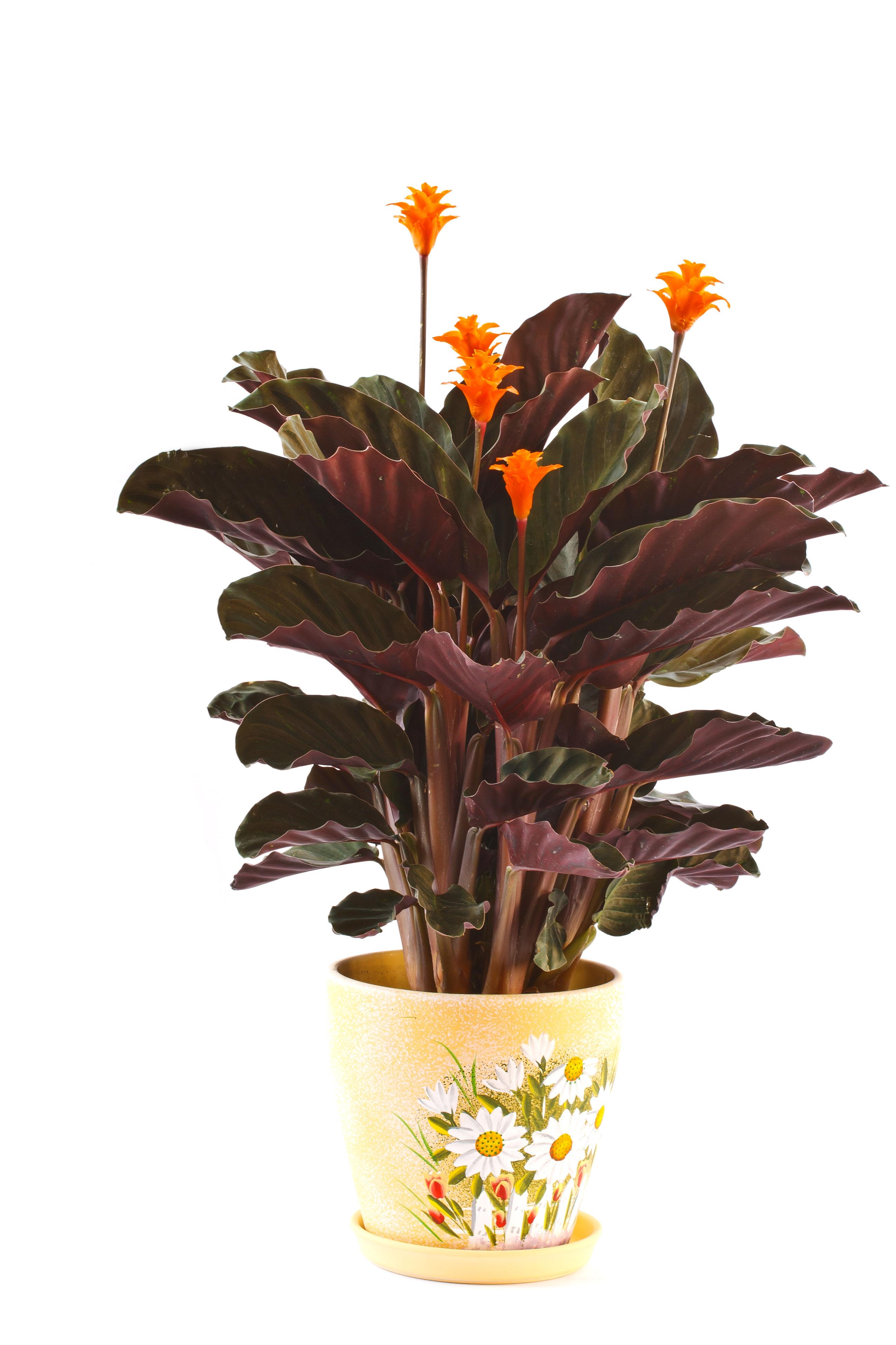 Calathea , stueplante, potteplante