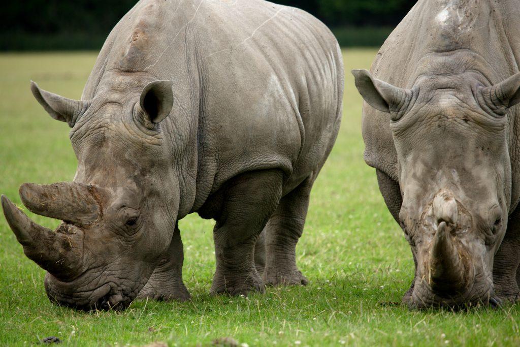 næsehorn, horn, næsehornshorn, krybskytteri, verdensnaturfonden, hornfarmer, næsehornsfarmer, sydafrika, dyr, truet,