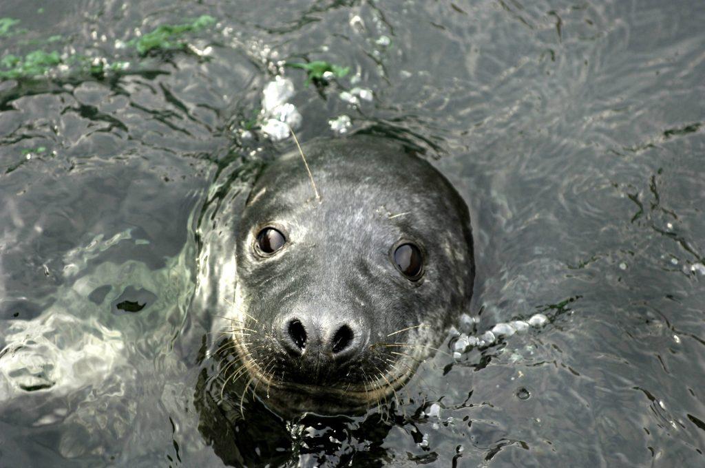 sæl, spættet sæl, gråsæl, vand, hav, bestand, dyr, havdyr, farvande, hav, danmark, indland