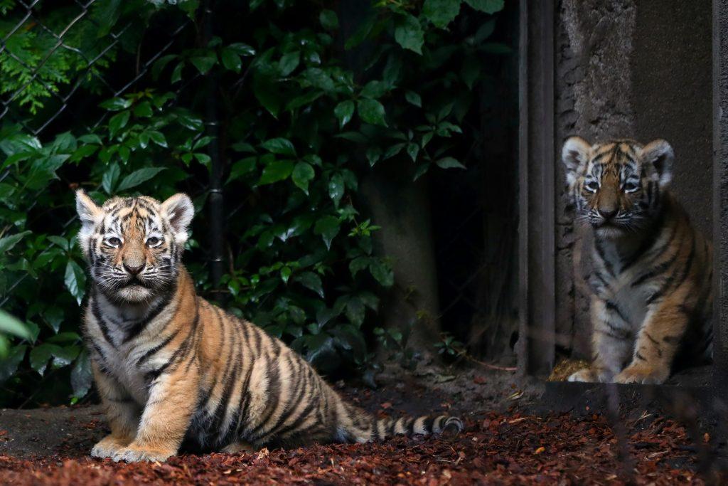 tigerunger, tiger, dagens billede, zoo, hamborg, tyskland, dyreunger