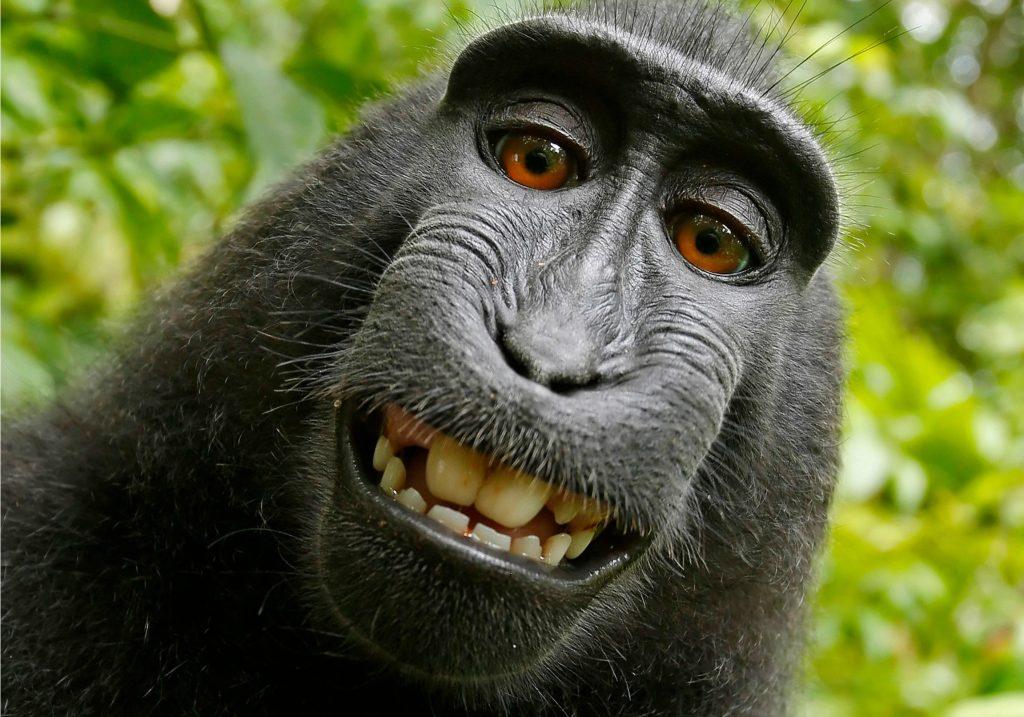 sulawesi, david slater, natur, fotograf, naturfotograf, abe, selfie, foto, fotografi, copyright, ejendomsret, rettigheder, retssag, wikipedia, kreditering, peta, dyr, dyrevelfærd, aber, udrydningstruet, truet dyreart, naturbeskytelse, dyreliv,