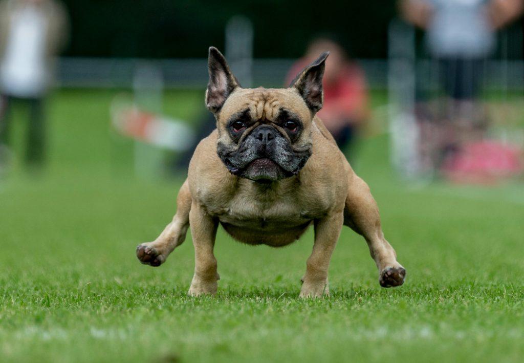 mops, bulldog, hund, hundeløb, wernau, tyskland, ræs, hundeløb, dagens billede