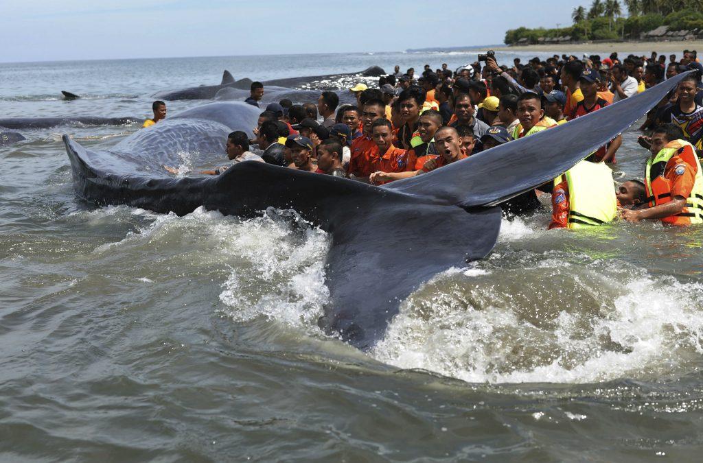 hval, strandede hvaler, hvaler, natur, strandet, redningsfolk, dyr, natur, miljø, hav, vand, indonesien