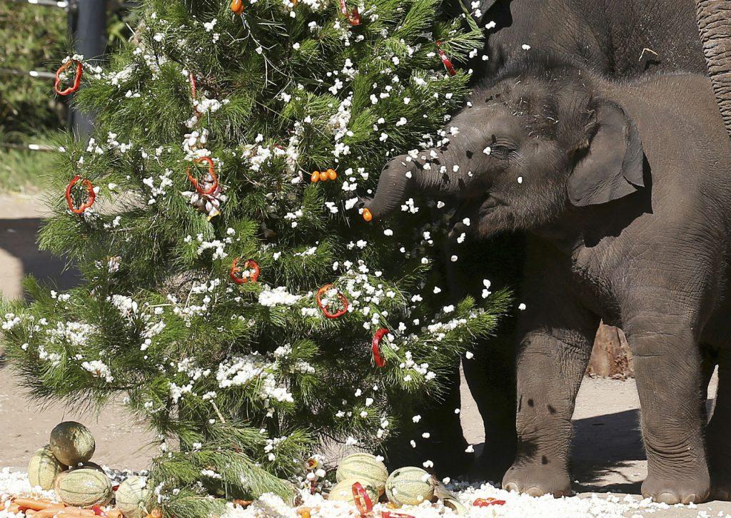 australien, elefant, jul, zoo, sne, snefnug, popcorn, leg, dyr