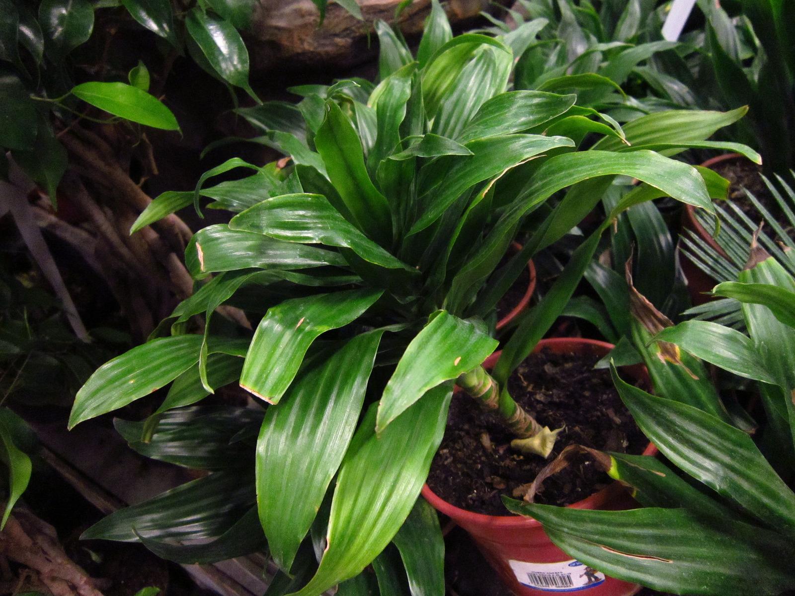 Duft-dracæna Planten, der efter sigende kan overleve flere måneder i mørke. (Foto: Photo by Archivos de Planeta Agronómico on Visualhunt.com / CC BY-SA, vand