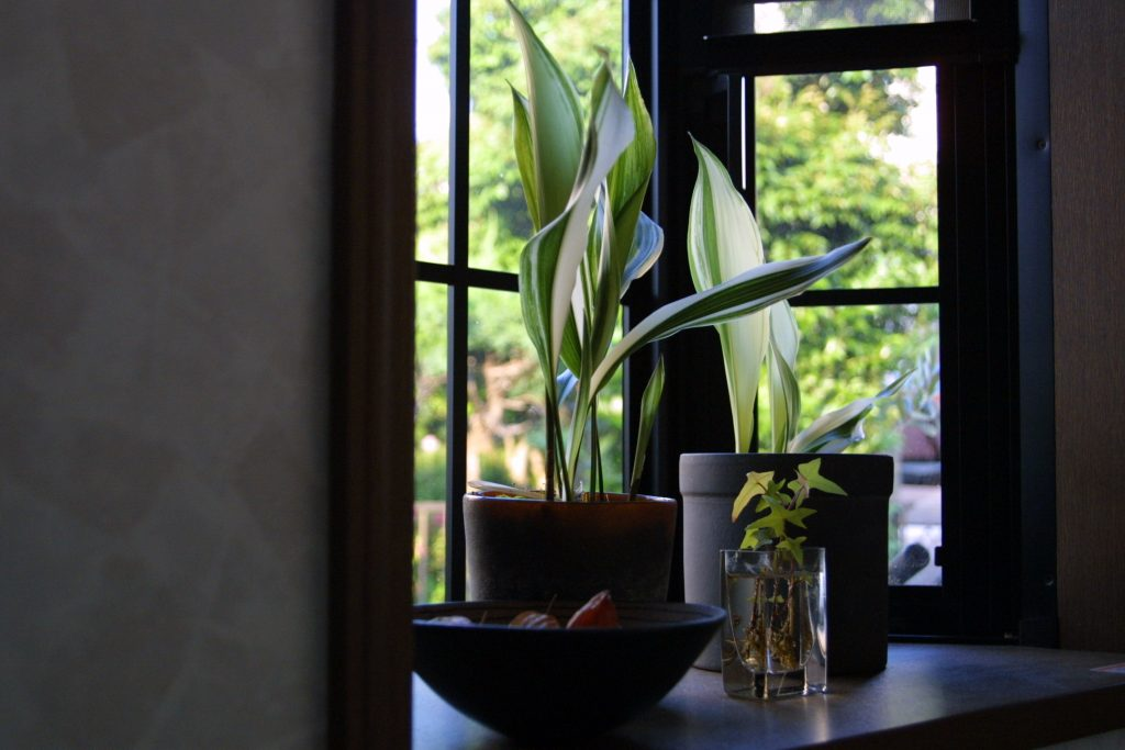 Photo by rrei320 on VisualHunt.com / CC BY The Cast Iron Plant Aspidistra elatior, vand