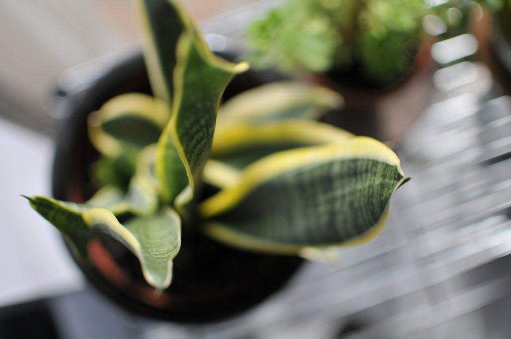 Sansevieria Trifasciata, svigermors skarpe tunge, planter, vand