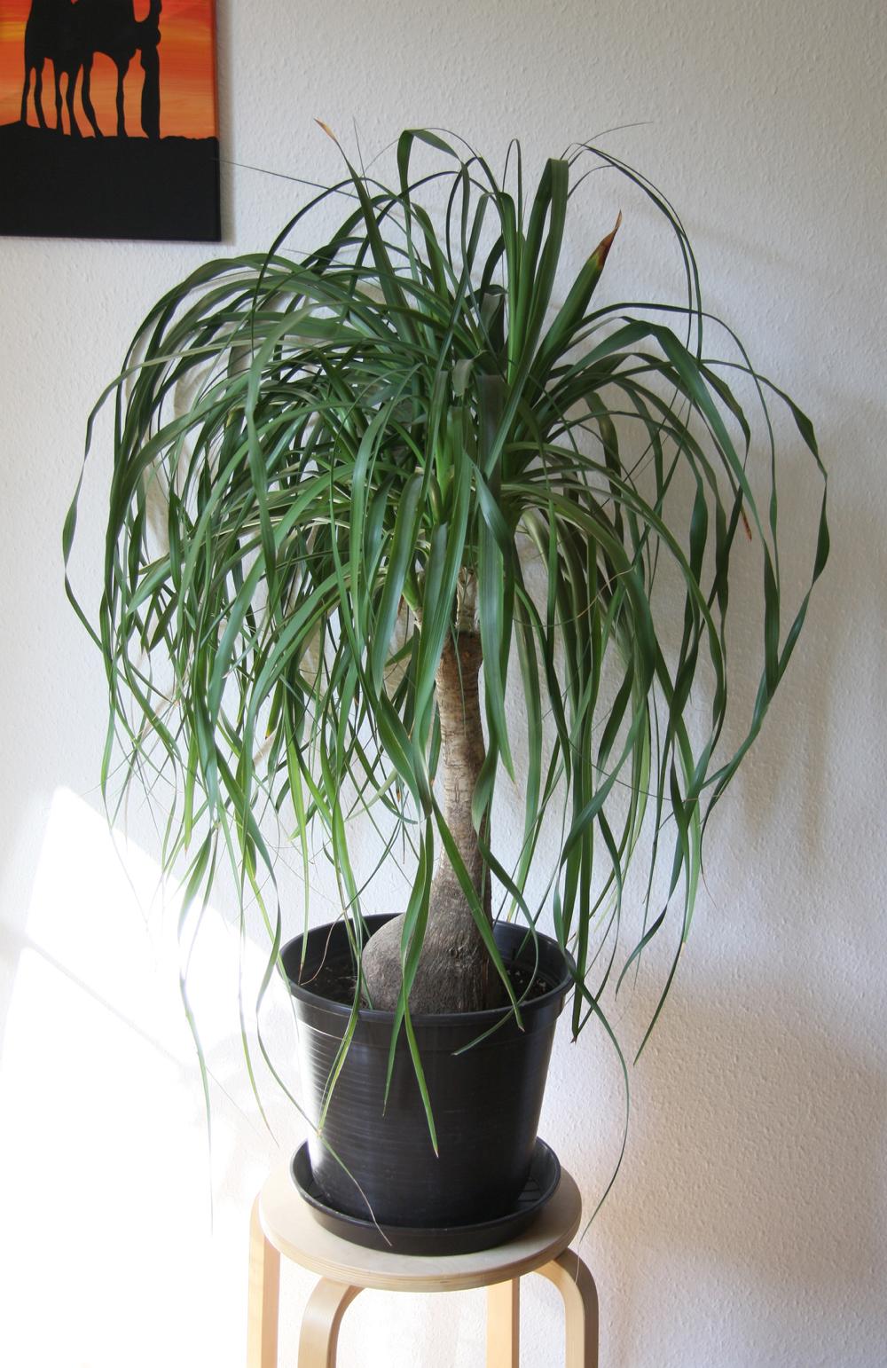 Beaucarnea recurvata, elefantfod, the mexican ponytail palm, vand