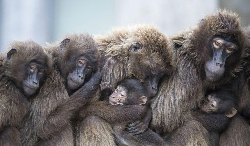 aber, bavianer, koldt kulde, varme, kram, samle, stuttgart, wilhelma zoo