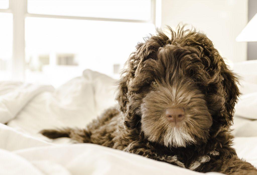 Ifølge forskningen sover du ikke værre med en stor hund end med en lille hund i sengen. (Foto: Pexels)