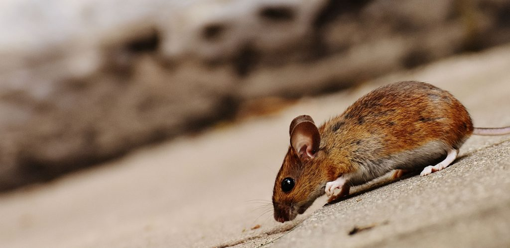 rotte, gnaver, mennesker, parasitter, lus, lopper, den sorte død, pest, sygdom, død, historie