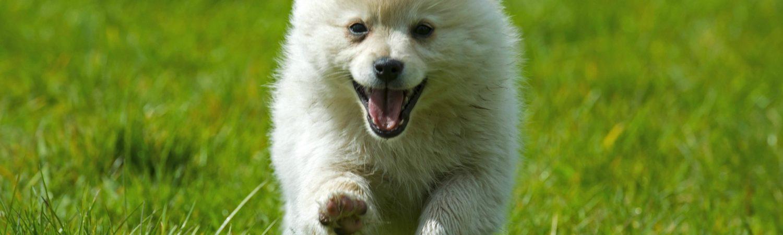 Sød hund løber glad på græs (Foto: All Over)