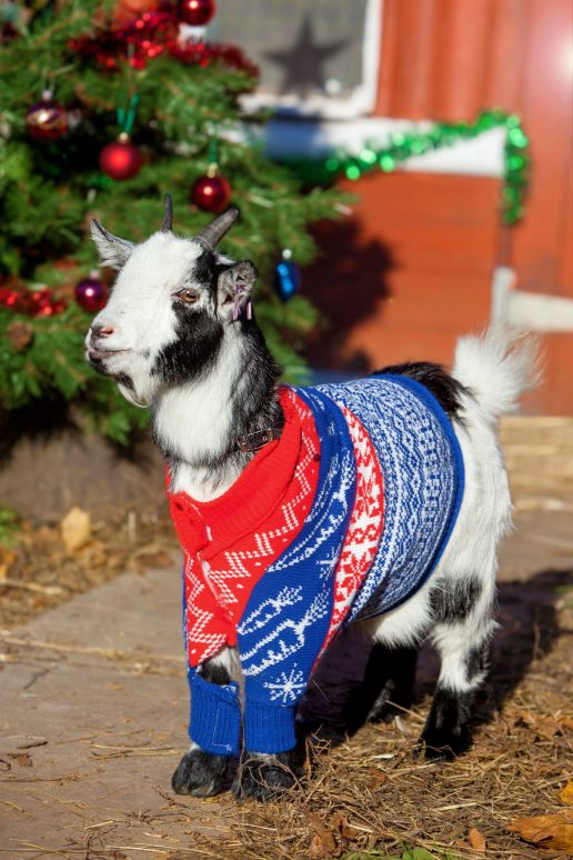En sød lille juleged med en blå sweater (Foto: All Over)