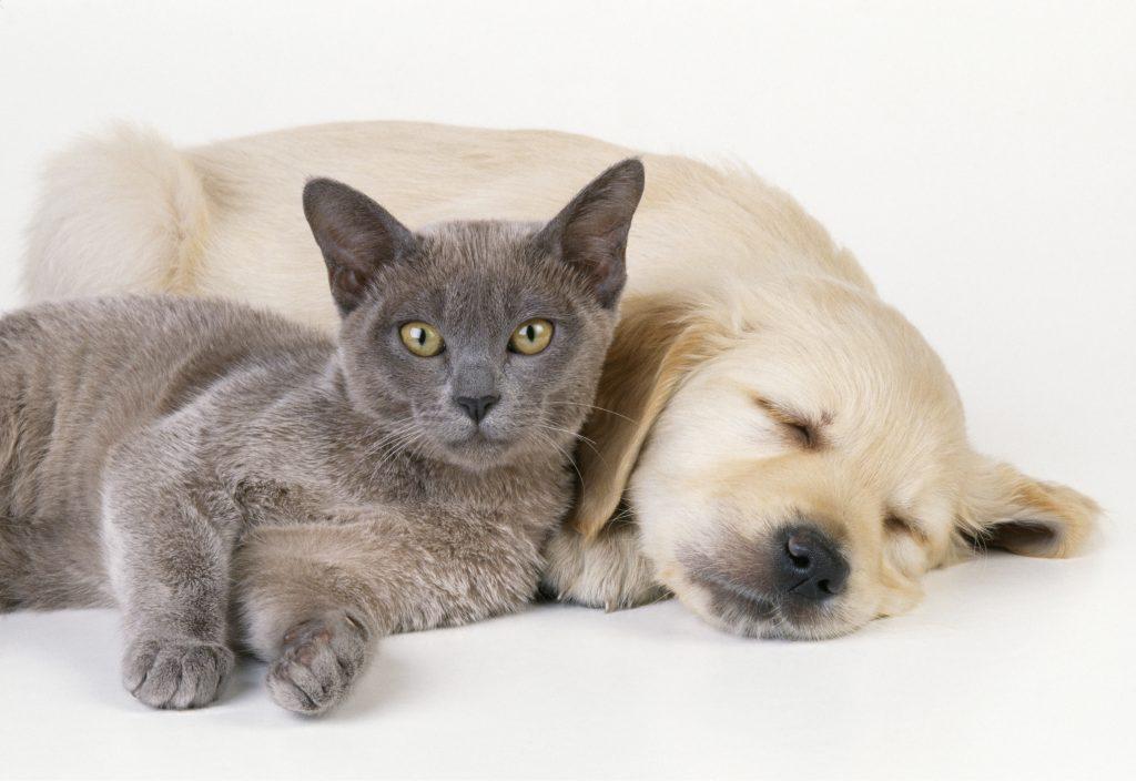 kat, hund, kærlighed, oxytocin, kæledyr, hengiven, forskning, videnskab, kæledyr