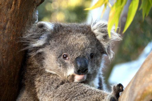 koala, koalabjørn, tørst, tørke, død, udrydning, australien, nationaldyr, dyr, bjørn