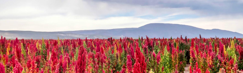 quinoa, afgrøder, superfood, mad, sundhed, klima, miljø, havvand,. sand, salt, saltholdig jord, bolivia, peru, rød quinoa, sort quinoa, hvid quinoa, landbrug, verdensbefolkningen,