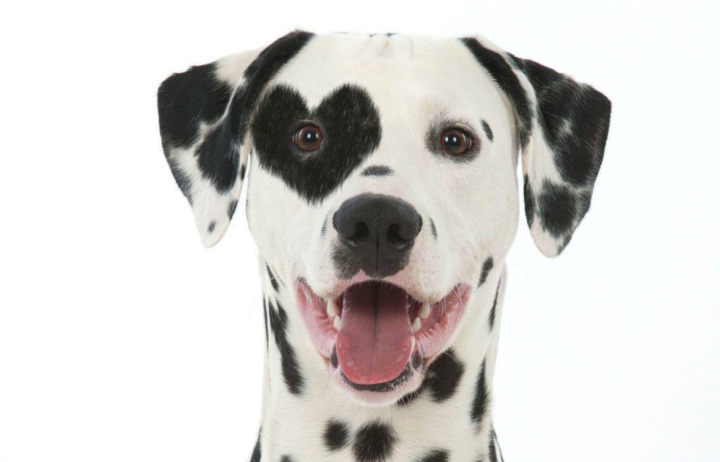 genfejl, genmutation, gen, mutation, fejl, hunde, hund, menneskets bedste ven, Williams-Beuren syndrom, forskning, videnskab, ulve, tamme, tam, hunde, kæledyr,
