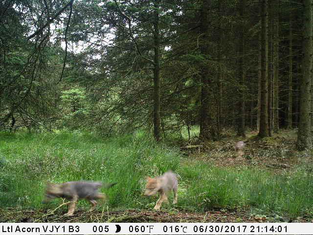 ulve, ulveflok, ulveunge, ulveunger, ulv, danmark, skove, natur, naturfredningsofreningen, eu, eu-kommissionen, folketinget, langbruget, landbrug, regler, skyde, natur, dyrebestand