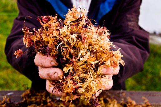 carrageenan, influenza, tang, rødalger, chondrus crispus