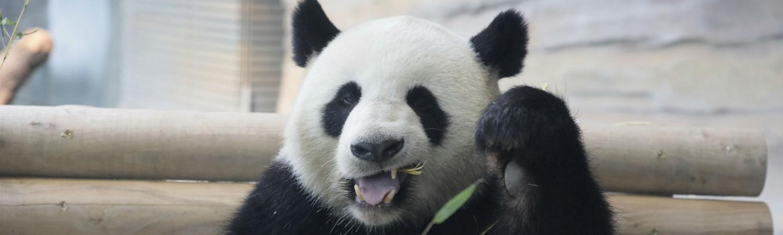 meng meng, berlin, panda, kina, pandabjørn, bjørn, zoo, deprimeret, opførsel, sex, parring, pubertet