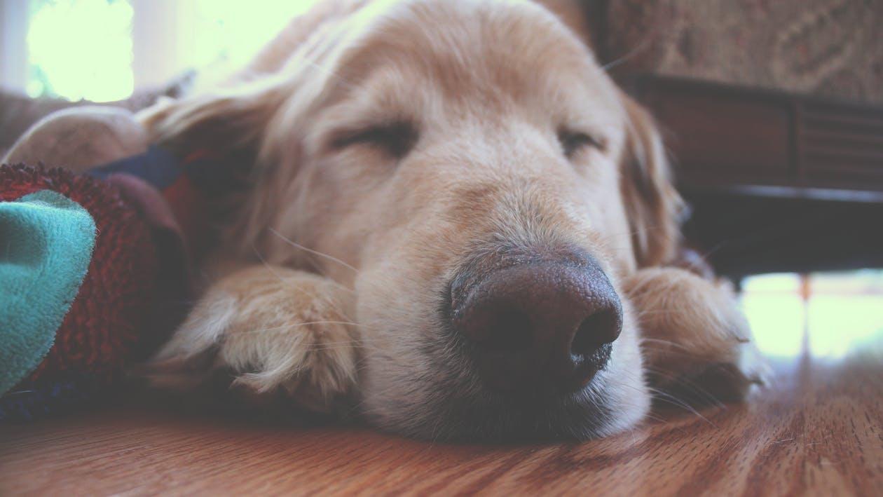 hund, hvalp, golden retriever, kæledyr, Altså har I SET en golden retriever?! Nååårh! (Foto: Pexels)
