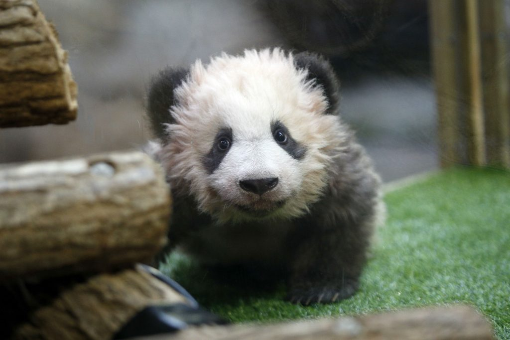 panda, pandaunge, dyr, zoo, frankrig