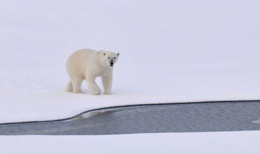 I 2018 må man skyde 156 isbjørne i Grønland. (Foto: Pexels)