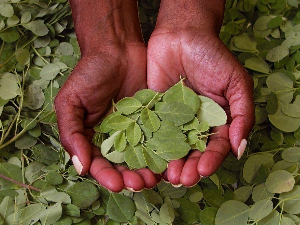 helbred, helbredelse, kroppen mineraler, moringa, moringa Oleifera, natur, naturlægemiddel, superfood, powerfood, sygdomme, helbredning