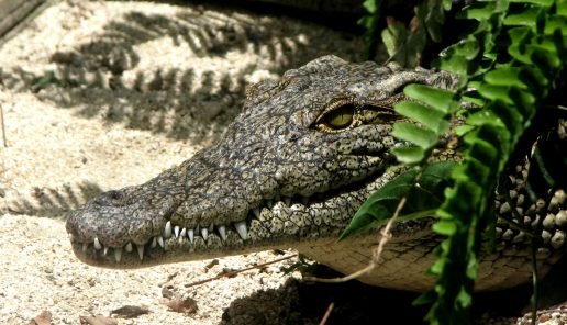 alligator, is, sne, kulde, frost, fryser fast, koldblodig, reptil, dyr