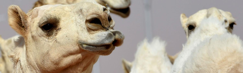 kamel, botox, skønhedsbehandling, skønhedskonkurrence, miss camel, saudi arabien, konkurrence, festival, botox, læber, kæbe, næse, snyd, diskvalificeret, penggevinst
