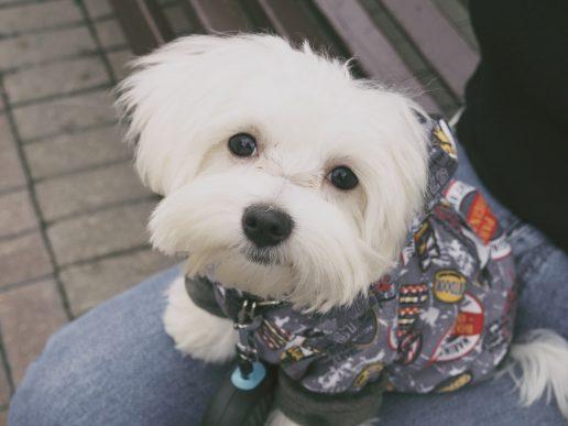 De helt små hunde kan ikke holde varmen, når det er koldt, så der er det en god idé at give dem tøj på. (Foto: Pexels)