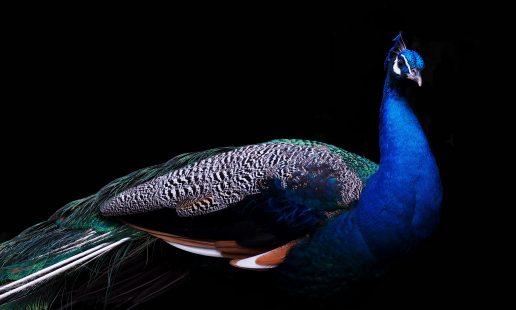 påfugl, dexter, dexter the peacock, støttedyr, dyr, følelsesmæssigt støtte, united airlines, flyselskab, dyrtransport, afvisning, påfugl, fugl, dyr, instagram, instagramstjerne