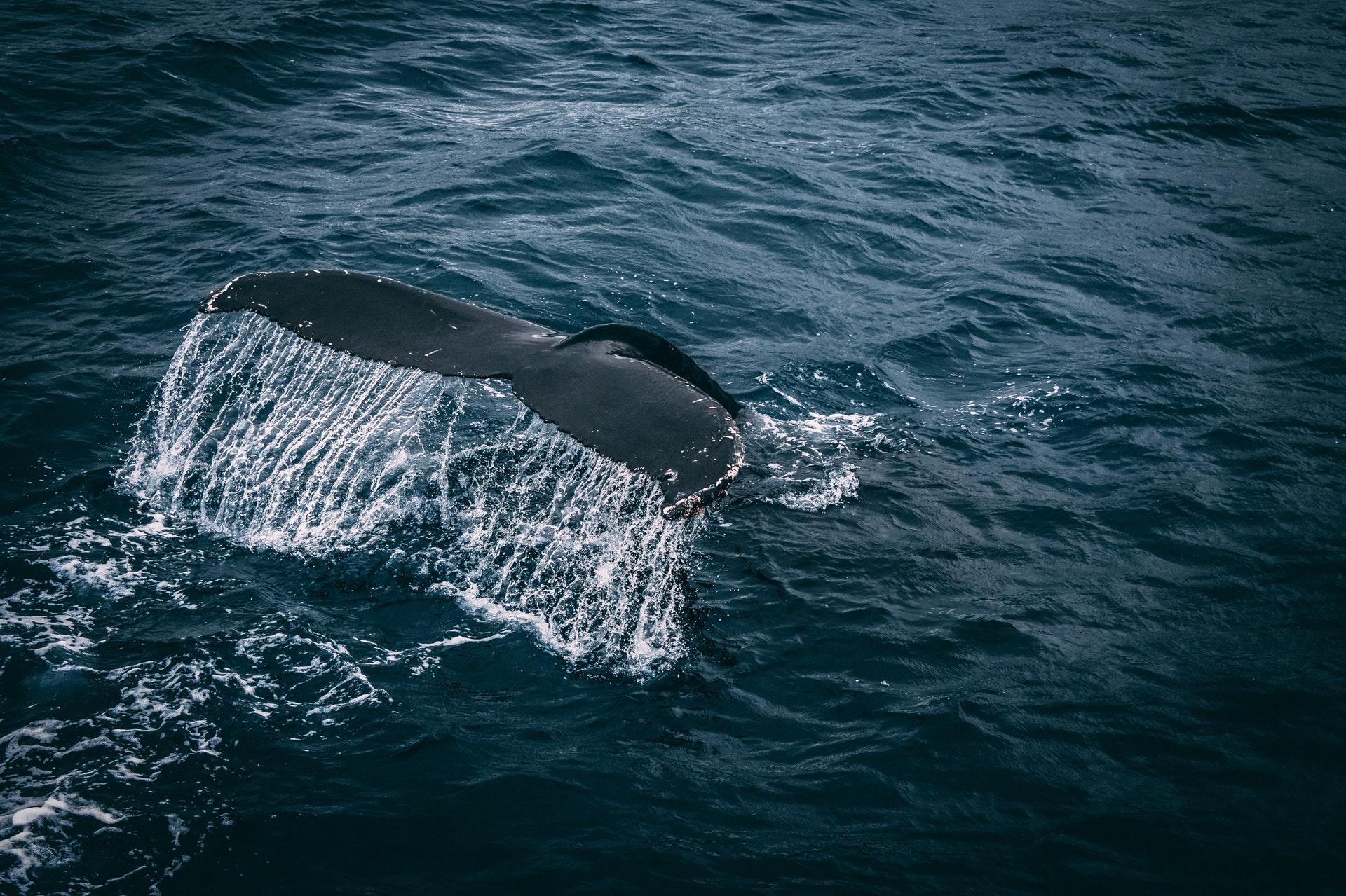 nyheder, news, Grindehvaler, hvaler, havet, strandede hvaler, naturen