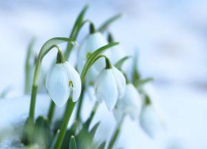 Vintergæk, påske, blomst, vinter, forår, sne, påsketraditioner