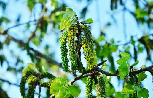 birketræ, birk, birch, pollen, allergi, allergy