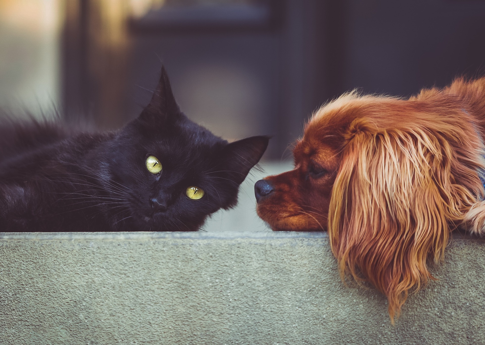 Kæledyr, dyr, hund, kat, hunde, katte, forsikring, agria, dyreforsikring