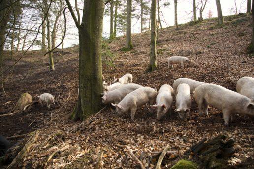 Dyrevelfærd, økologi, økologisk, dyr, grise, svin, svinekød