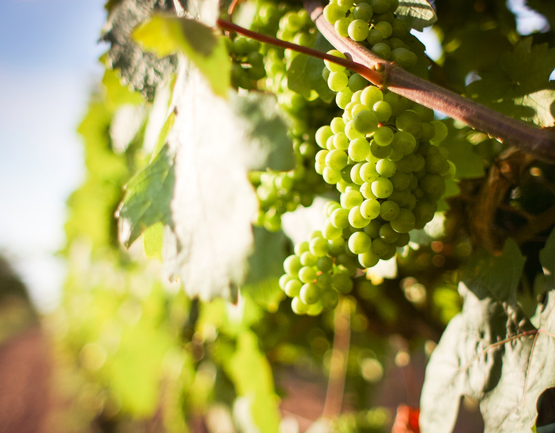 Vindruer, vinavl, vin, frugt, druer