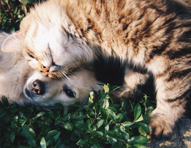 Kæledyr, dyr, kat, katte, hund, hunde, sød, nuttet, venner, kærlighed