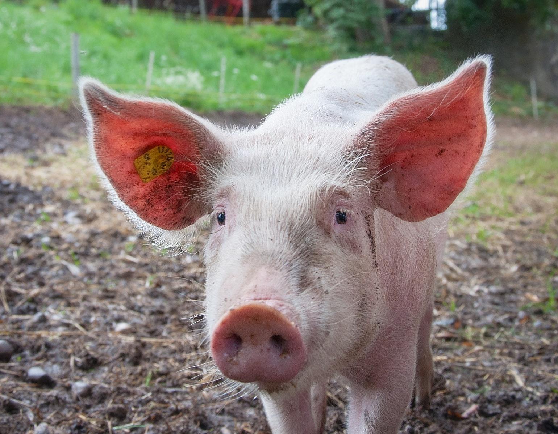 Gris, grise, dyr, landbrug, gård, bondegård, natur, økologi